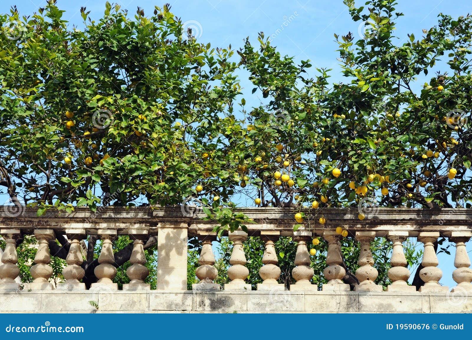 Alberi di limone fotografia stock immagine di italia for Alberi da frutto prezzi