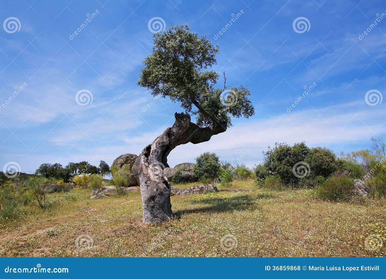 Alberi di quercia da sughero fotografia stock immagine for Alberi da frutto prezzi