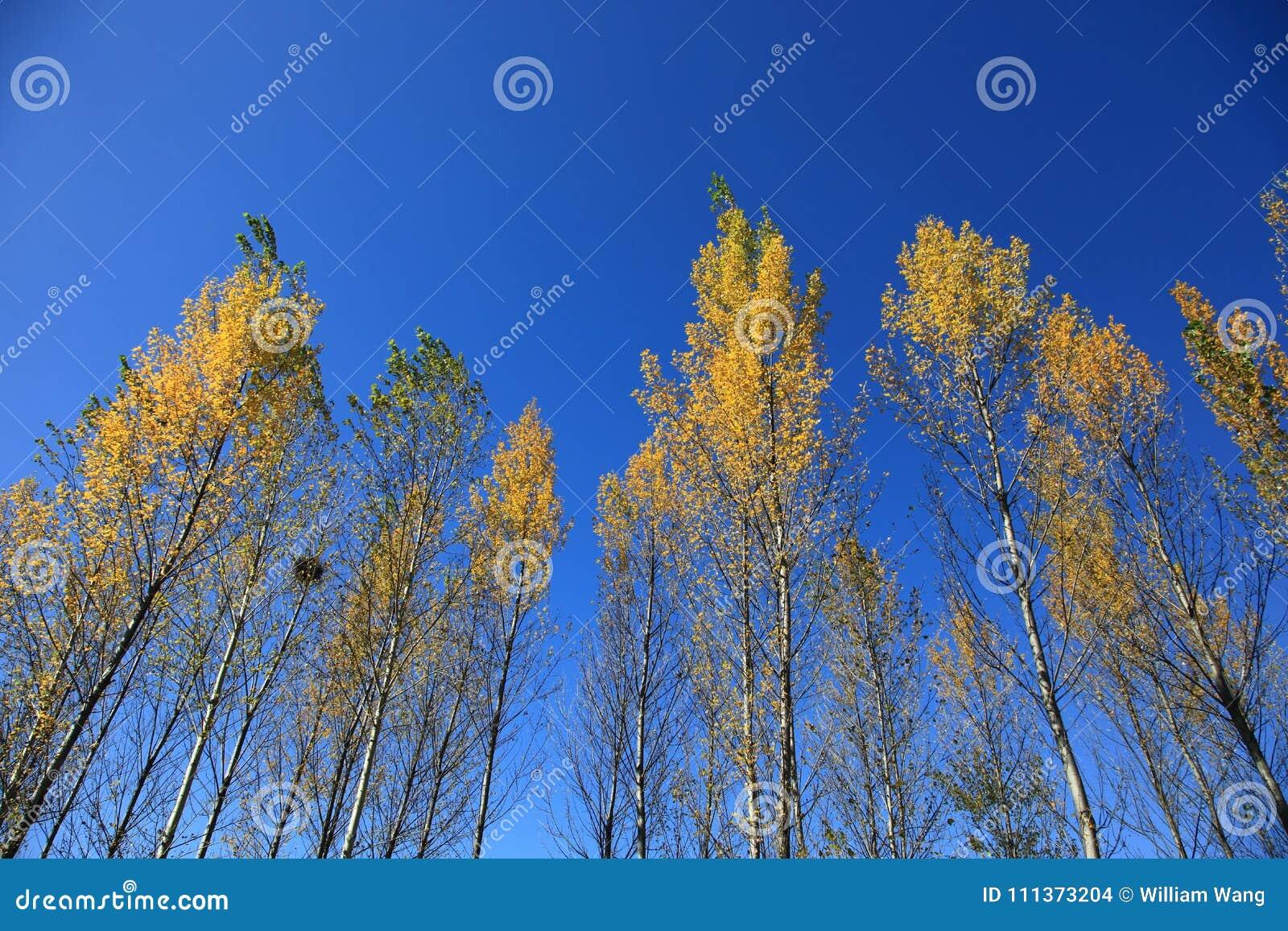 Alberi gialli in autunno a nordest della Cina