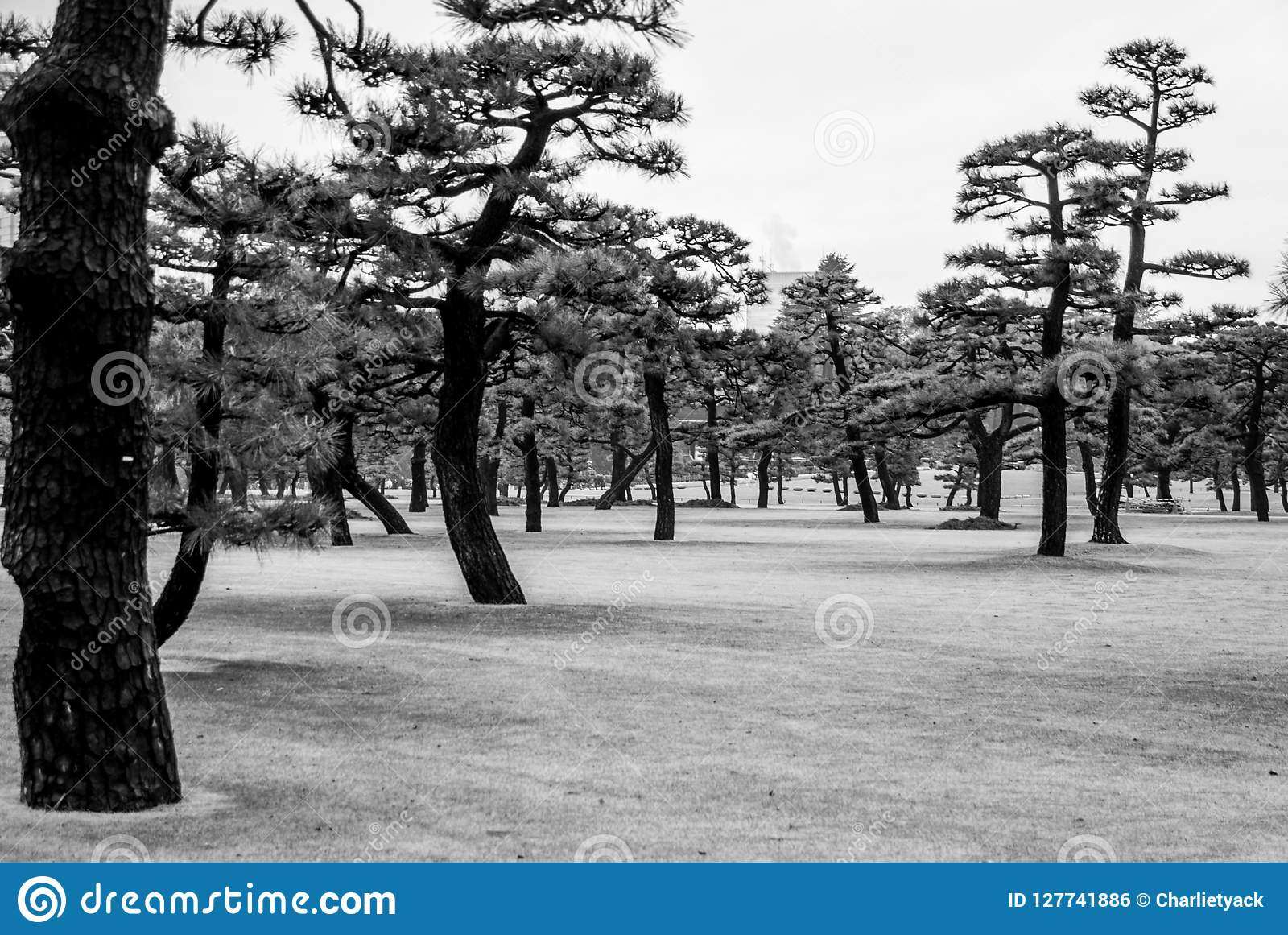 Alberi giapponesi - Wabi Sabi Ki - distretto del palazzo di Tokyo