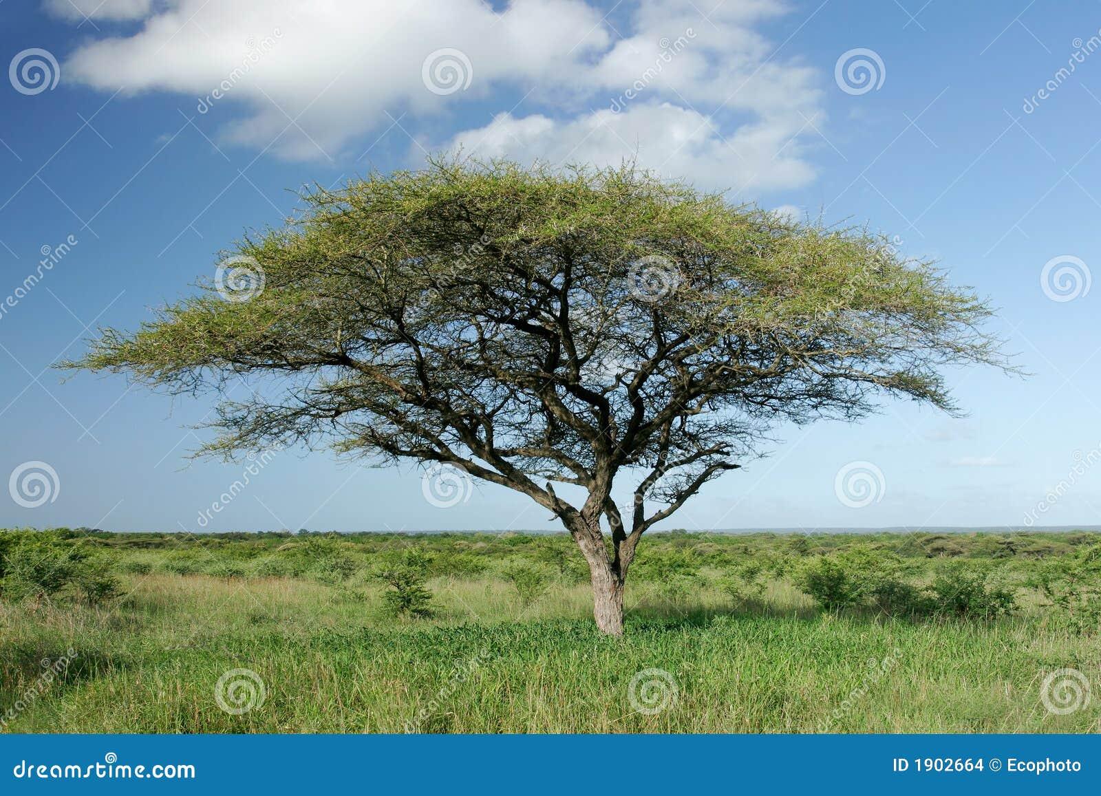 Albero africano dell 39 acacia immagini stock immagine 1902664 for Acacia albero