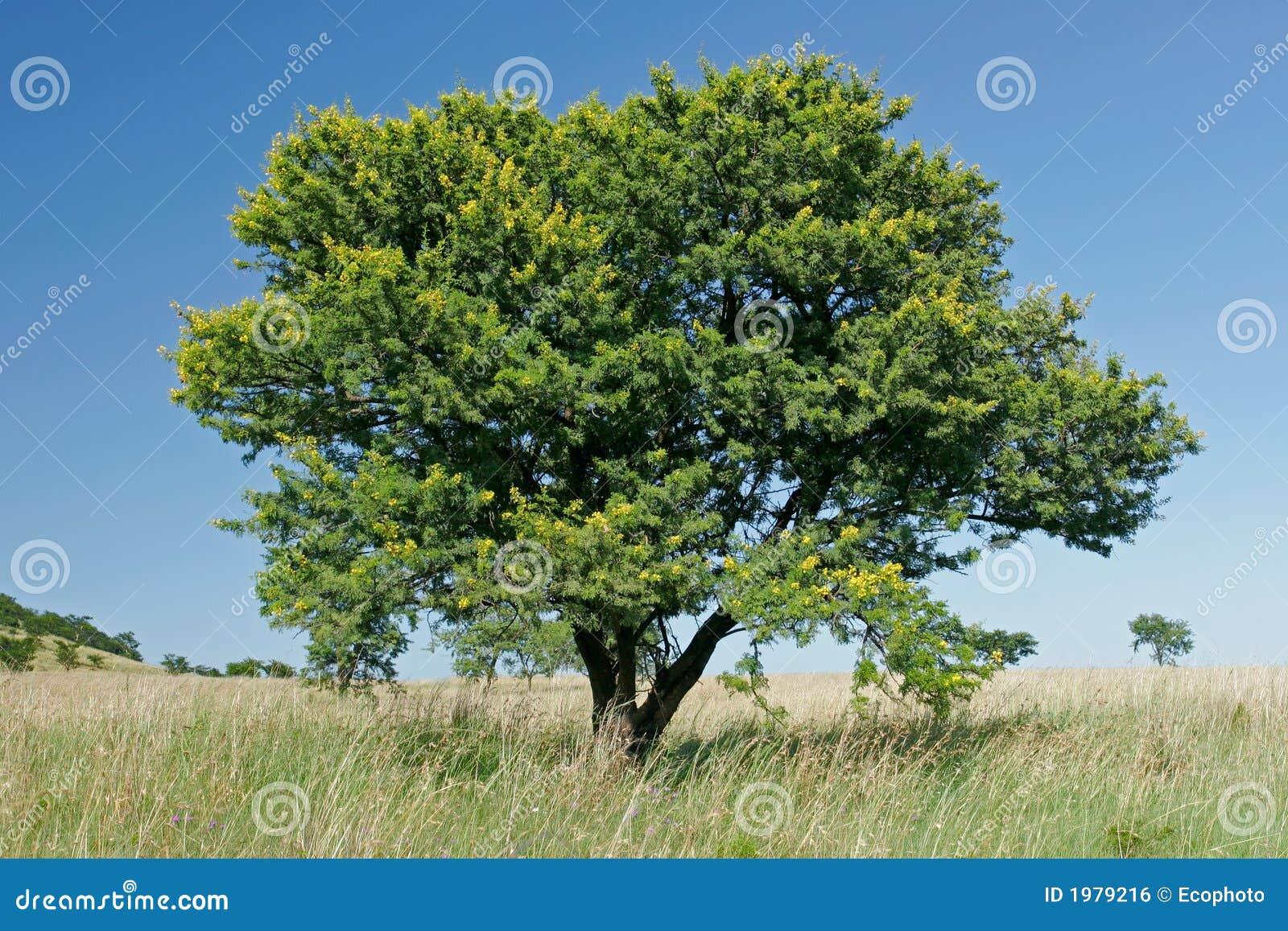 Albero africano dell 39 acacia immagine stock libera da for Acacia albero