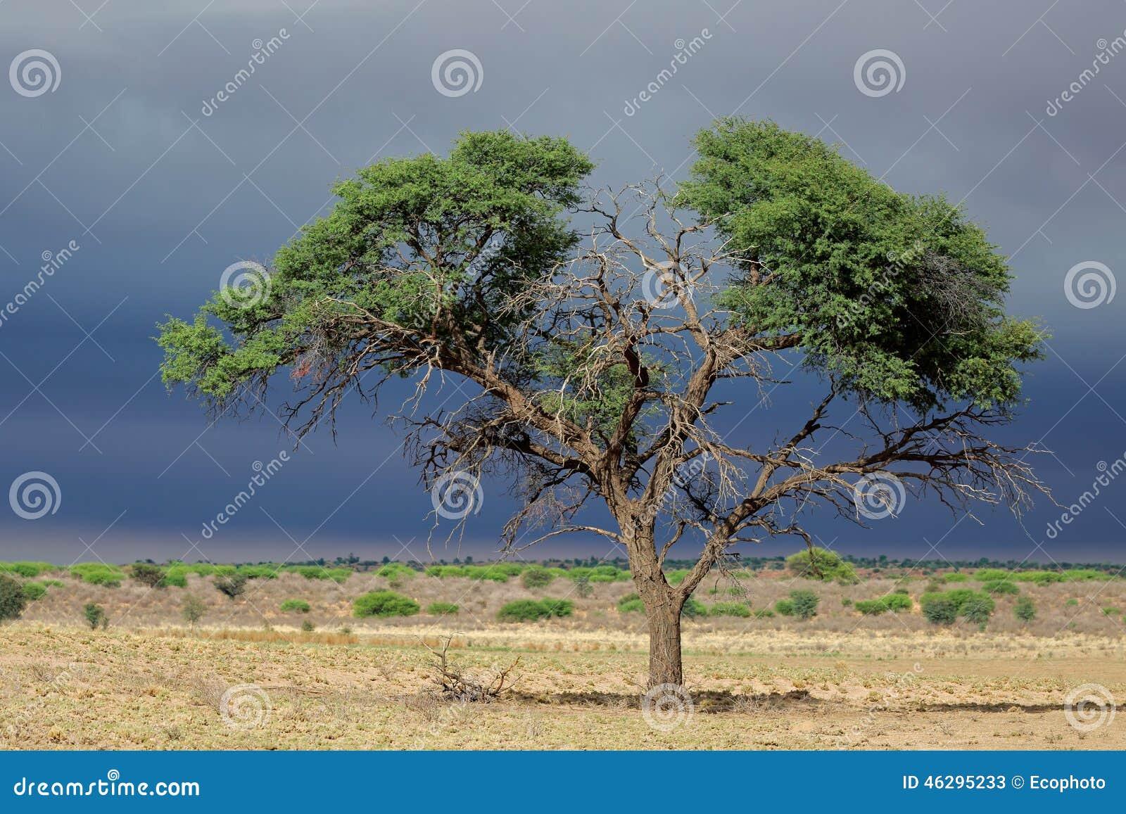 Albero africano dell 39 acacia immagine stock immagine for Acacia albero