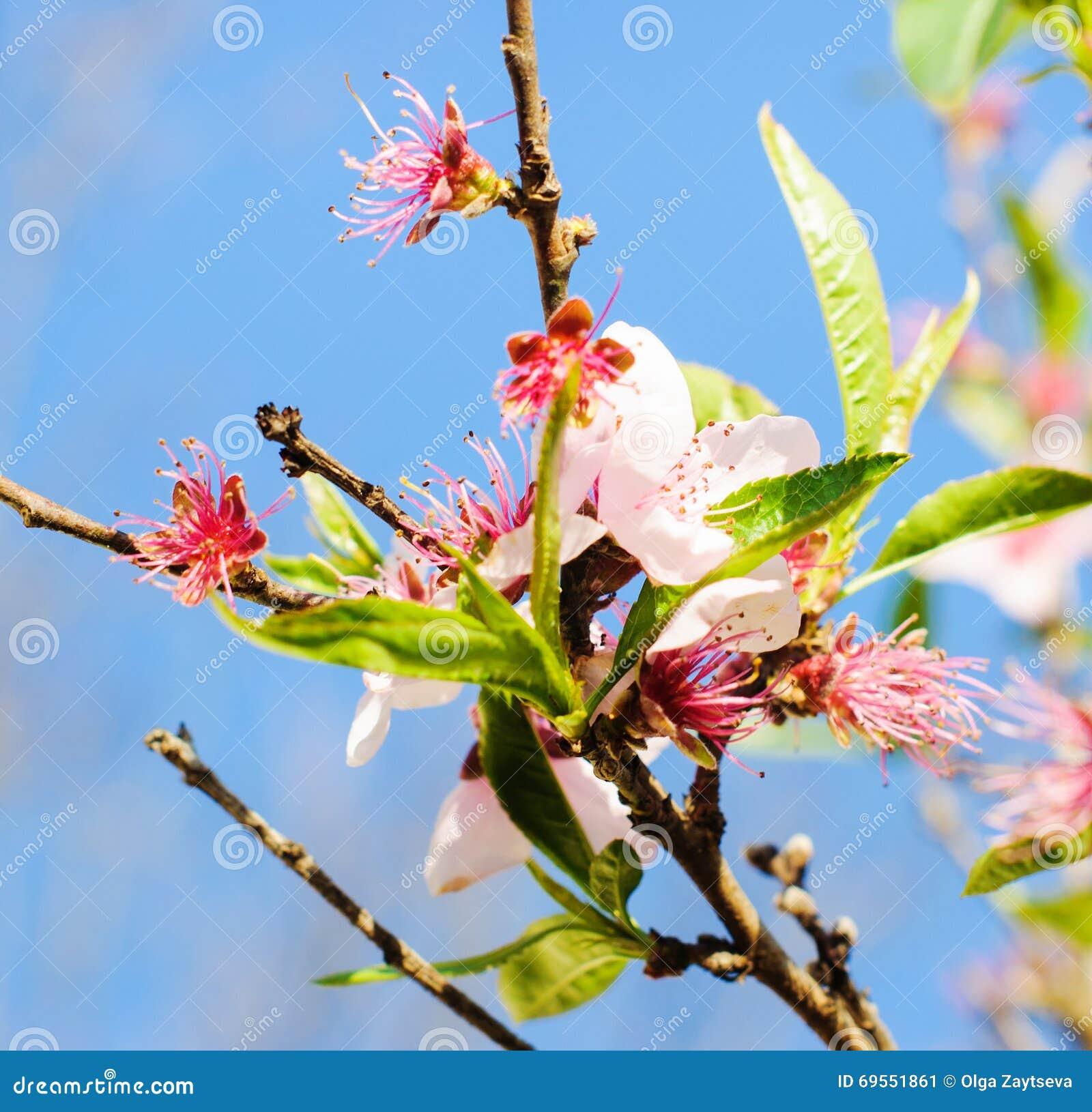 Albero con i fiori rosa immagine stock immagine di petalo for Albero con fiori blu