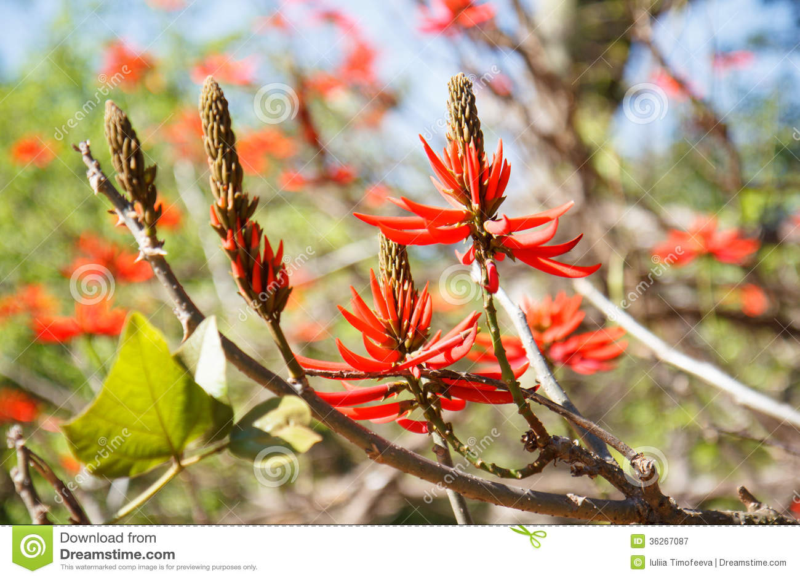 Albero con i fiori rossi erythrina albero di corallo for Albero con fiori blu