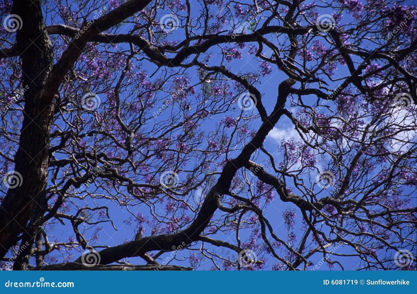 Albero con i fiori viola immagini stock libere da diritti for Albero con fiori blu