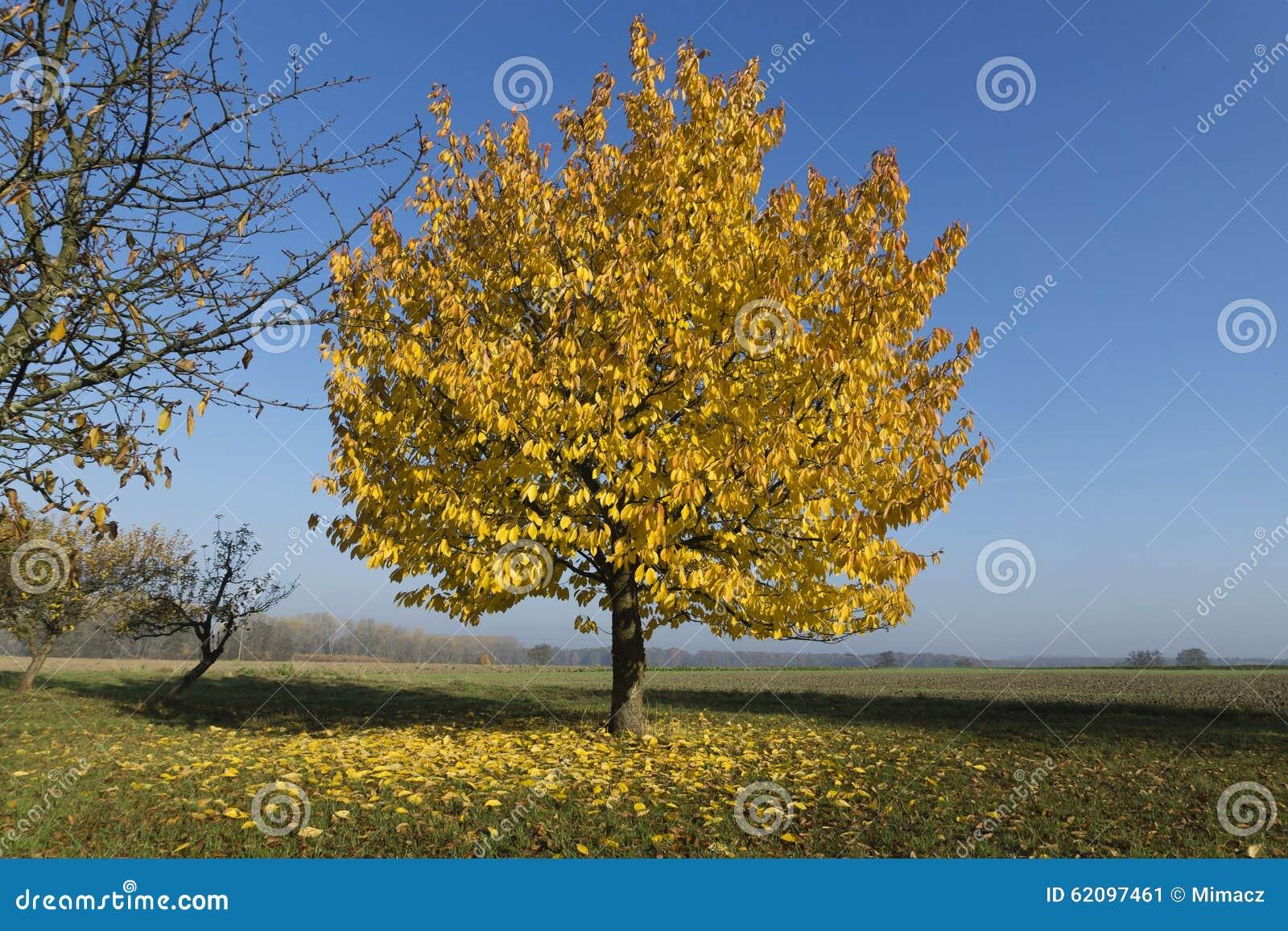 Ortensie Foglie Gialle : Albero con le belle foglie gialle immagine stock
