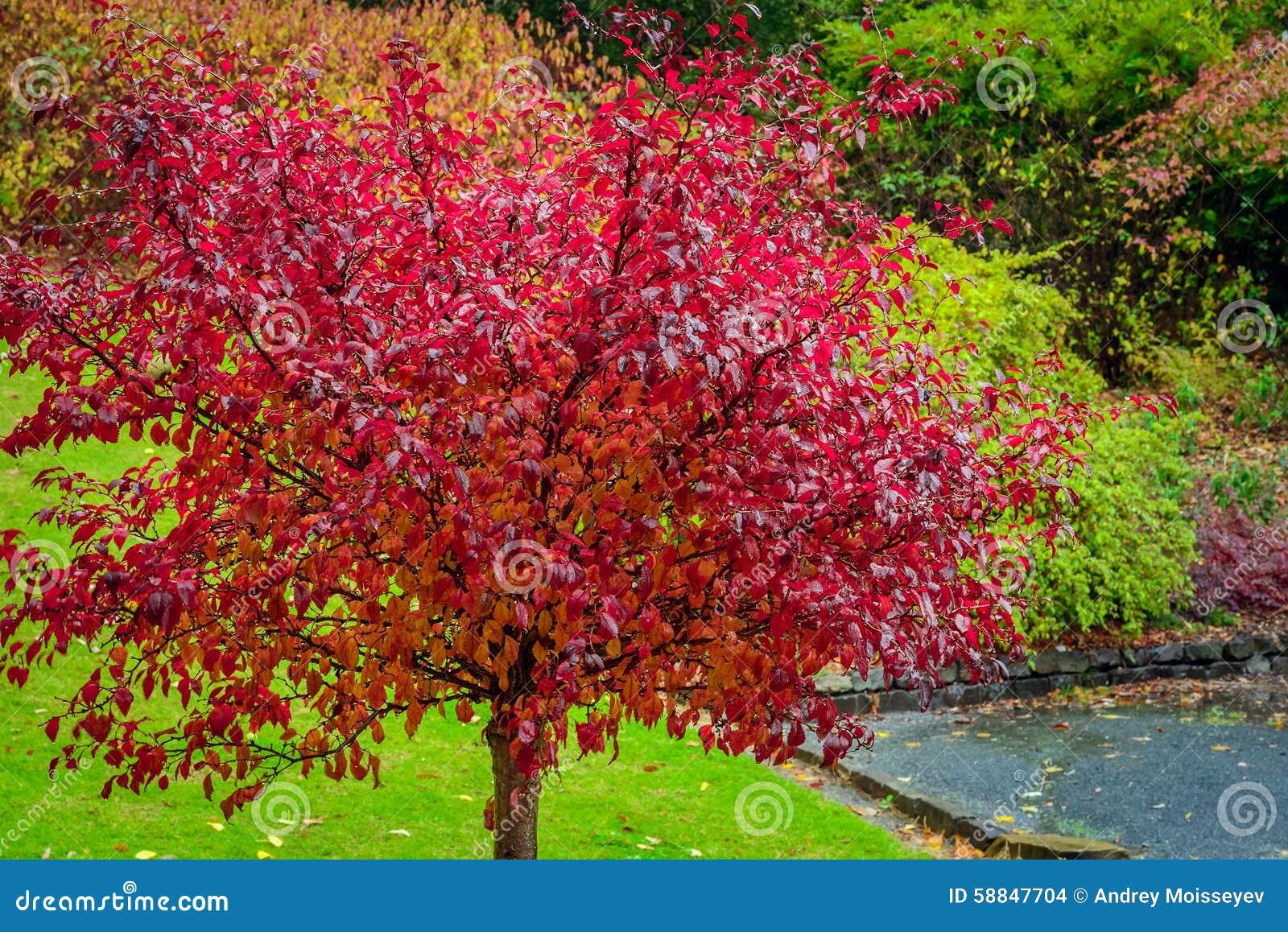 albero con le foglie di autunno rosse fotografia stock