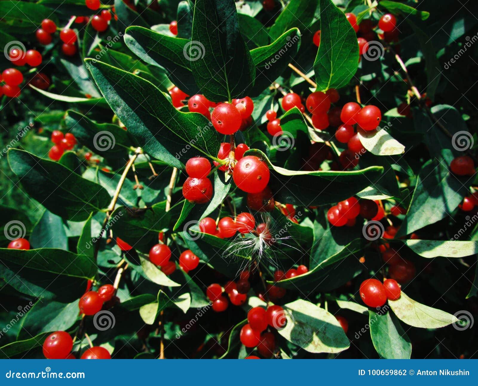 Albero Con Bacche Rosse albero con le piccole bacche rosse fotografia stock
