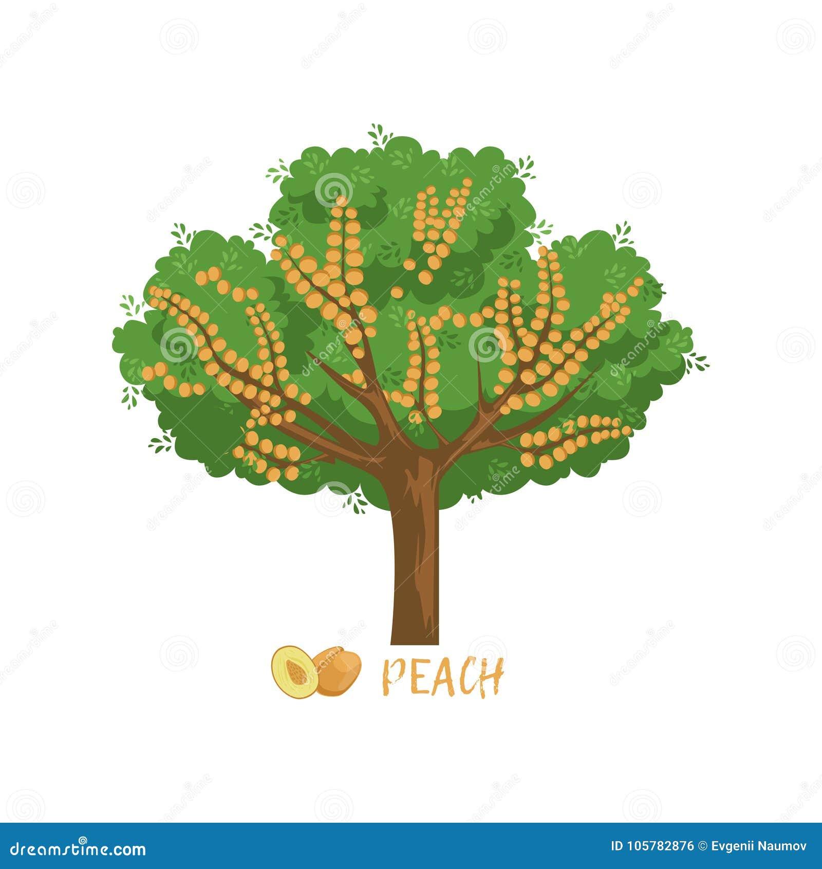 Foto Di Alberi Da Frutto albero da frutto del giardino della pesca con l