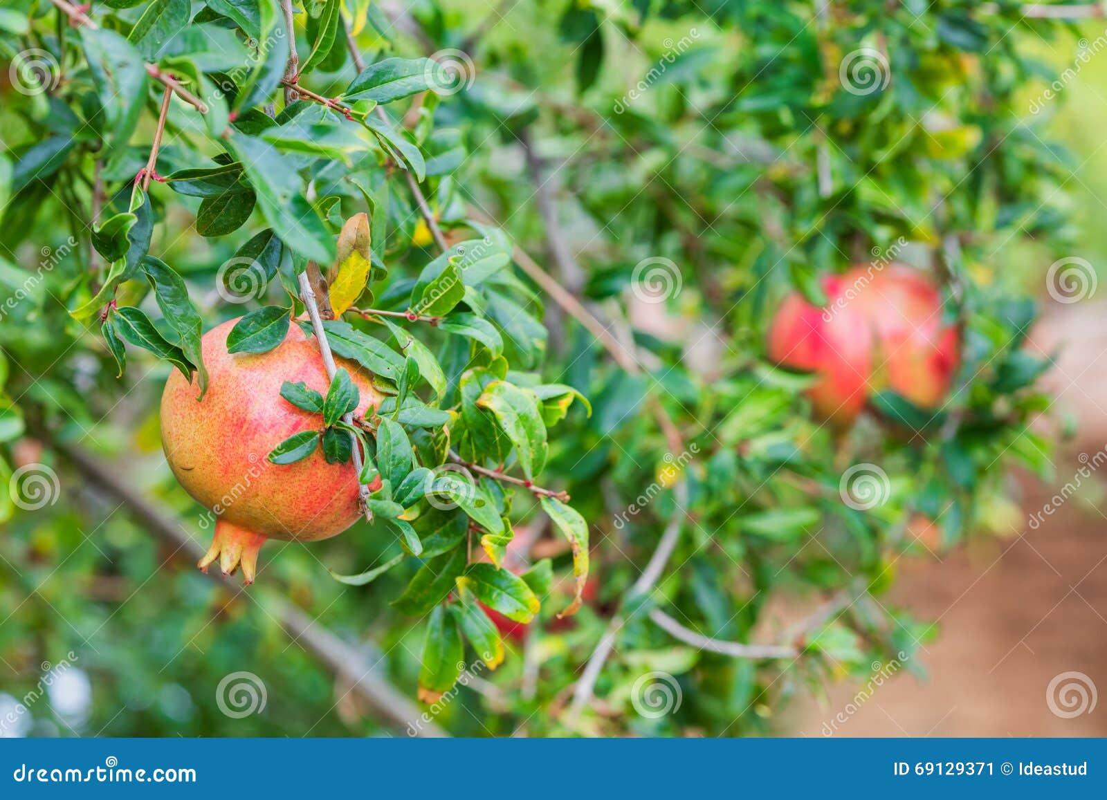 Albero da frutto del melograno nel giardino di autunno for Albero da frutto nano