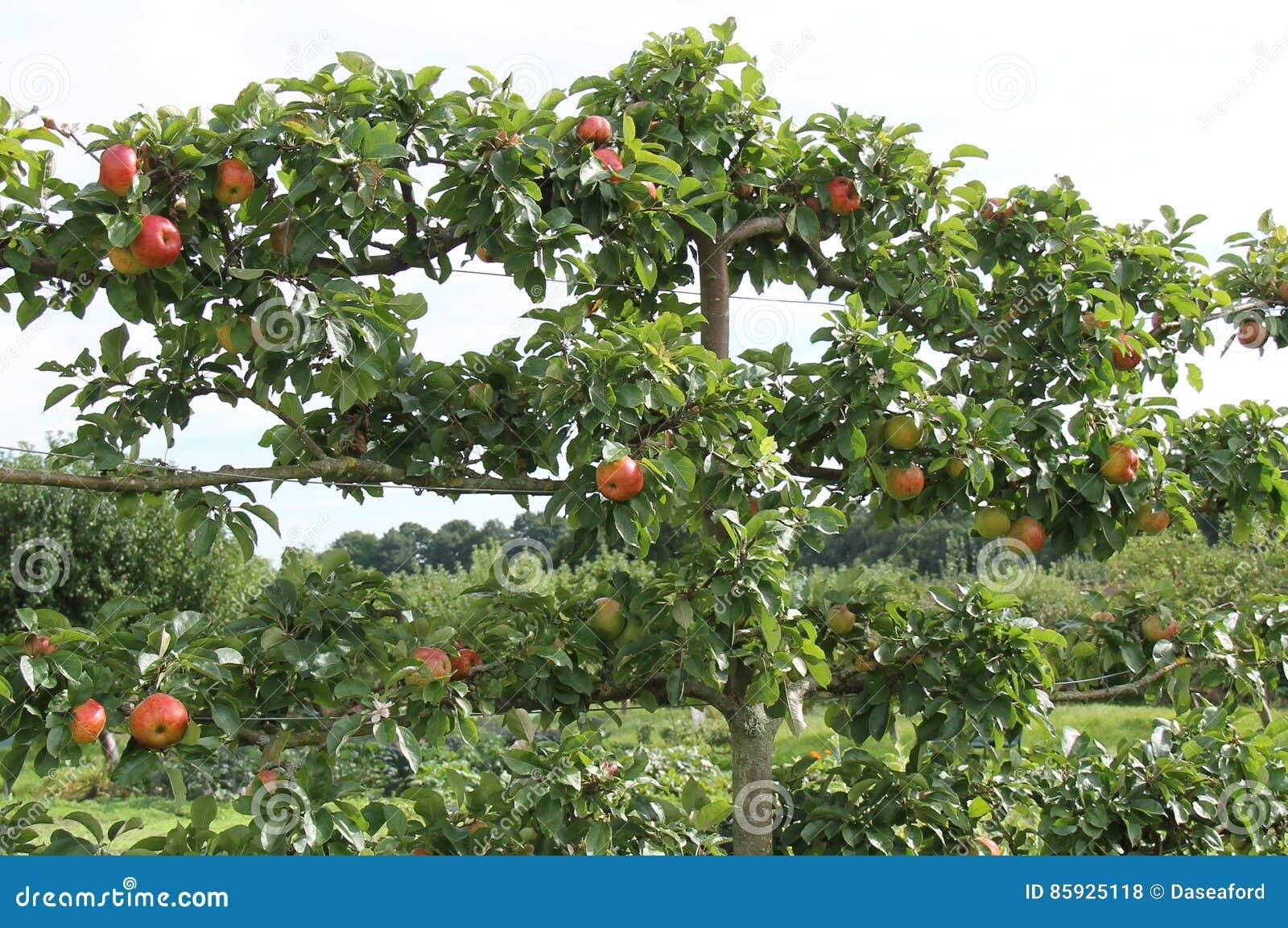Albero da frutto dell 39 albero a spalliera fotografia stock for Alberi da frutto prezzi