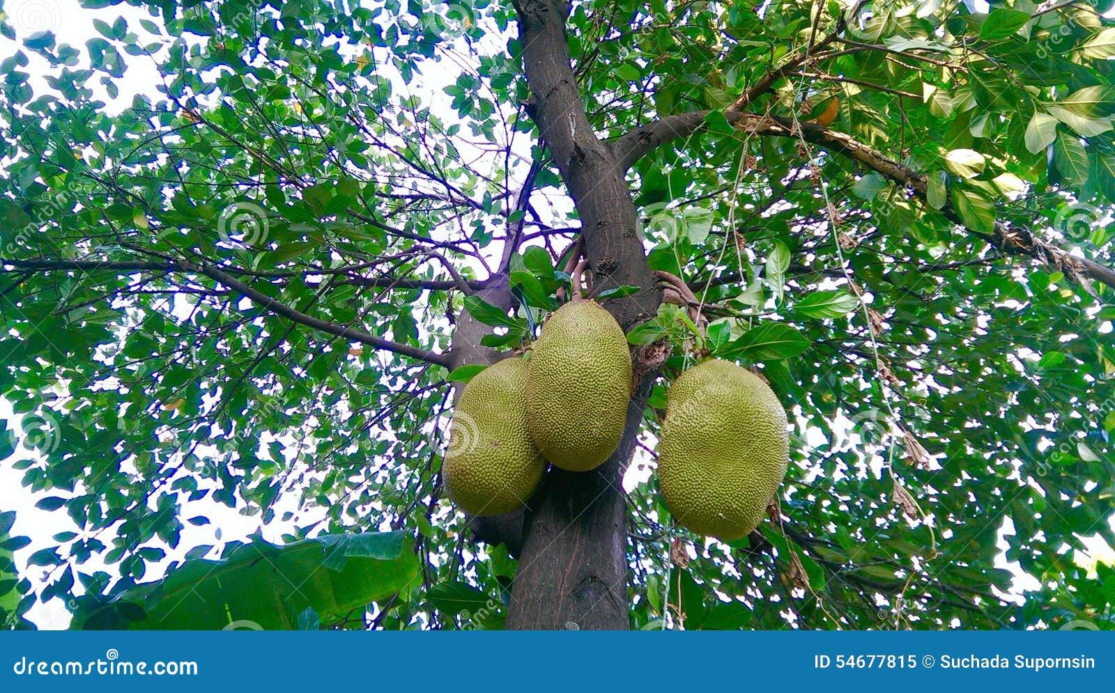 Albero da frutto della giaca fotografia stock immagine for Albero da frutto nano
