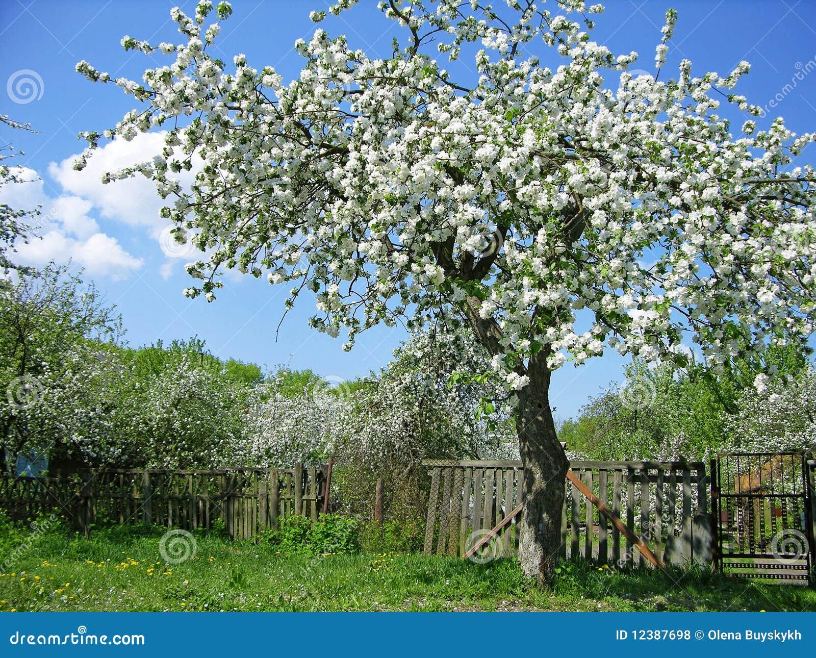 Albero da frutto di fioritura fotografia stock immagine for Alberi da frutto prezzi