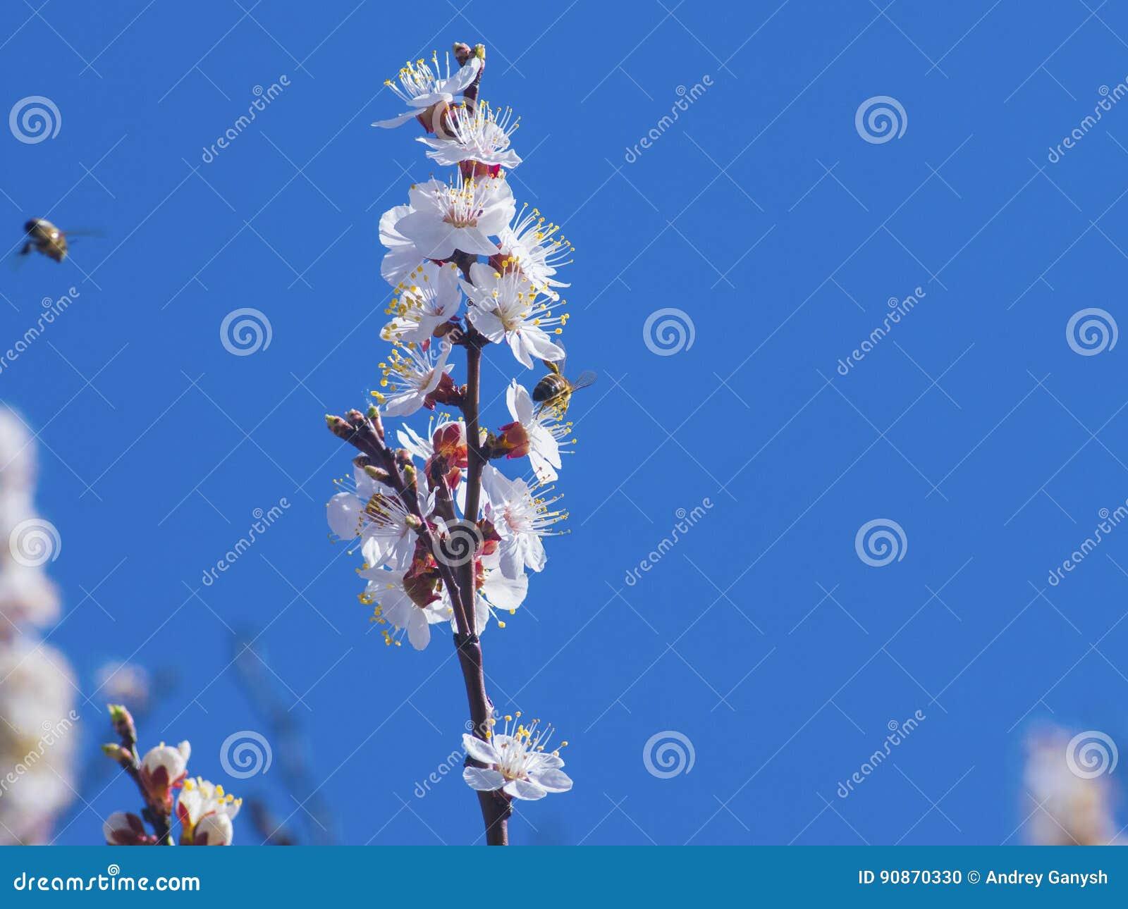 Albero da frutto di fioritura piacevole e ape volante