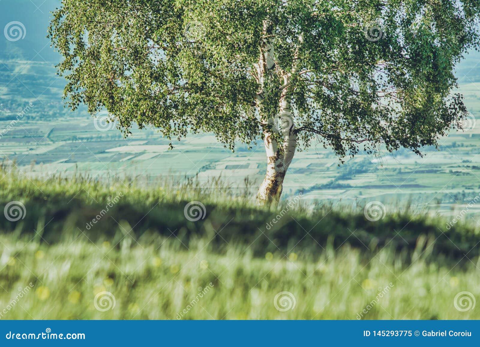 Albero da solo su una collina con erba verde
