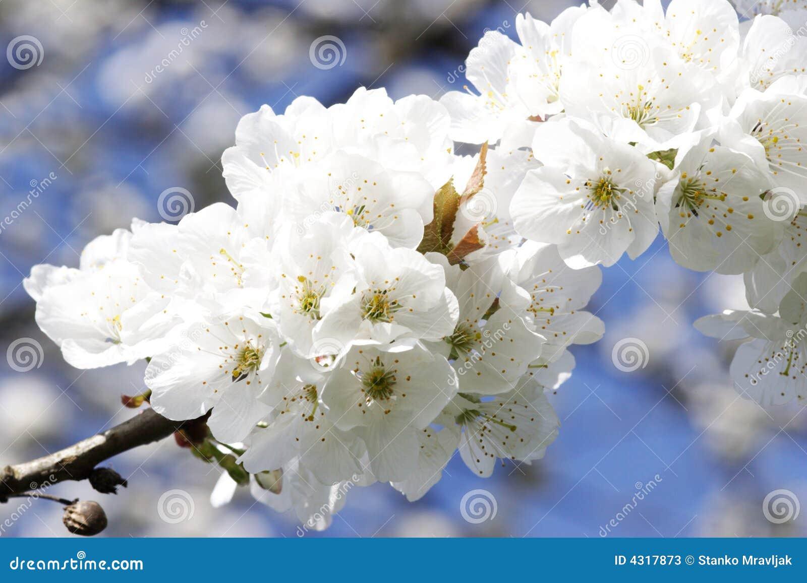 albero dei fiori bianchi immagine stock immagine di