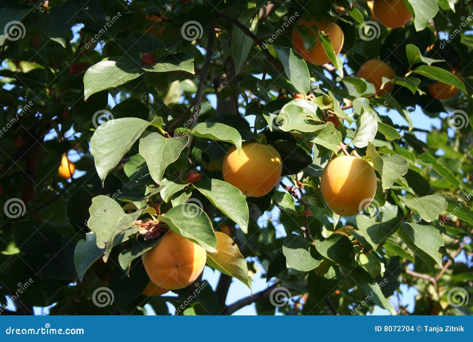 Albero del cachi fotografia stock immagine di dolce for Albero di cachi