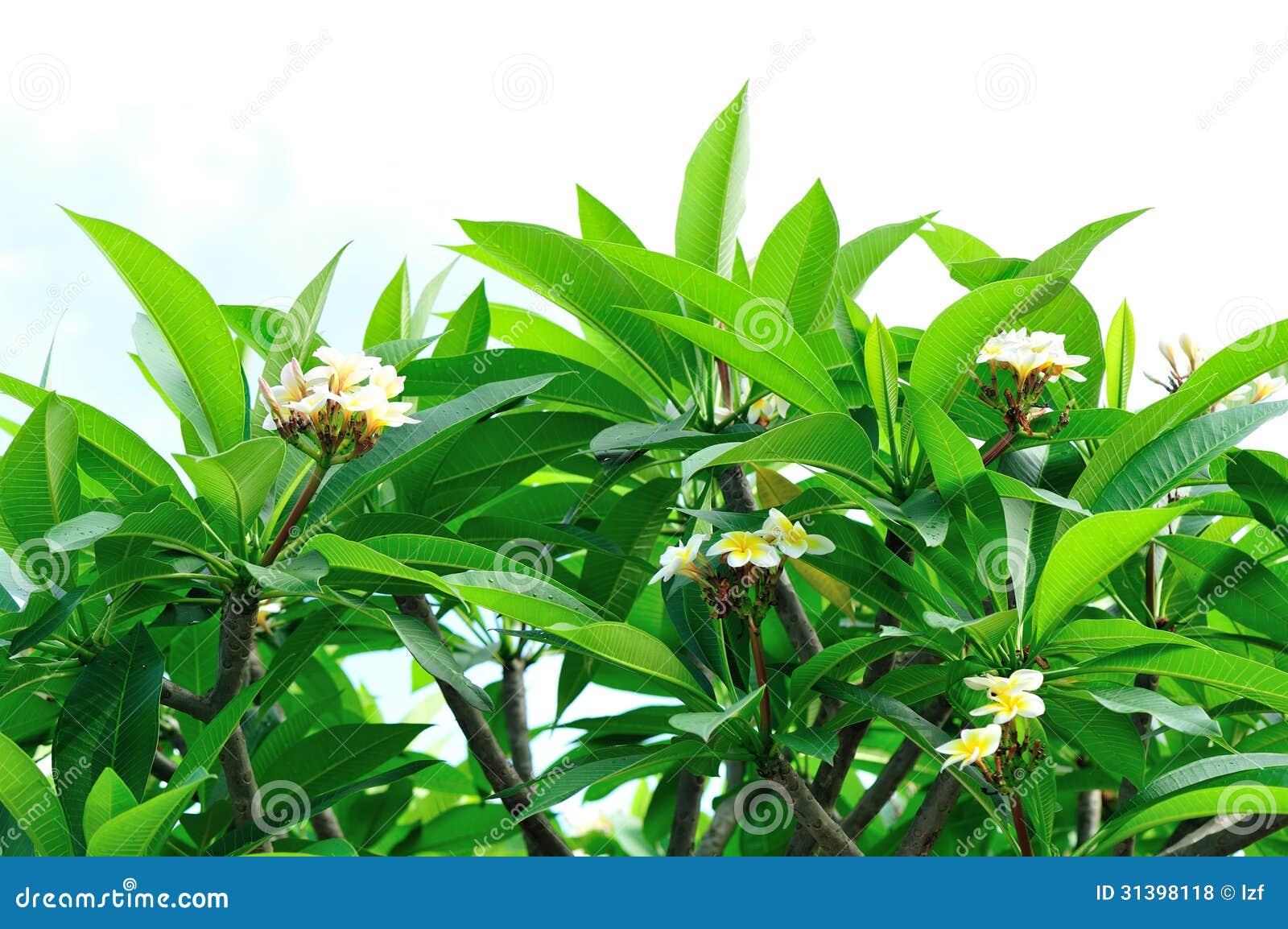 Albero del frangipane con i fiori fotografie stock libere for Albero con fiori blu