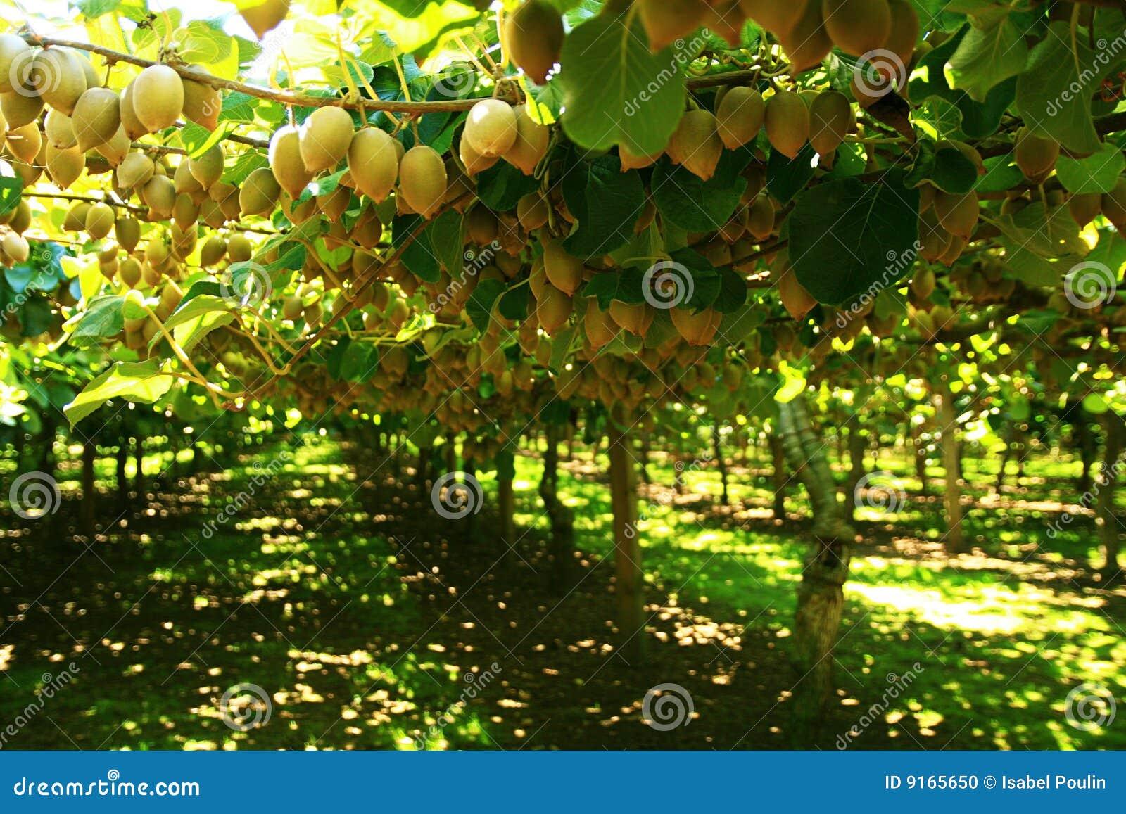 Albero del kiwi fotografia stock immagine di consumo for Albero di kiwi