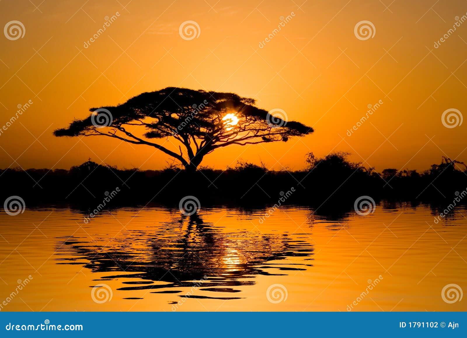 Albero dell 39 acacia ad alba fotografia stock immagine di for Acacia albero