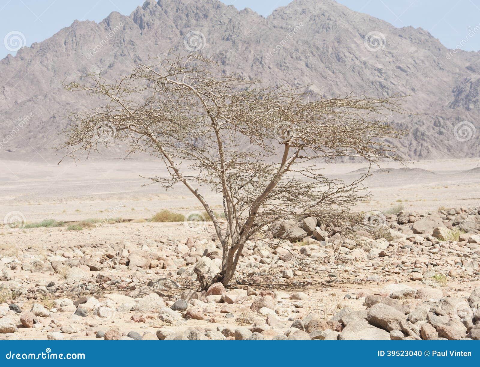 Albero dell 39 acacia che cresce in un deserto roccioso for Acacia albero