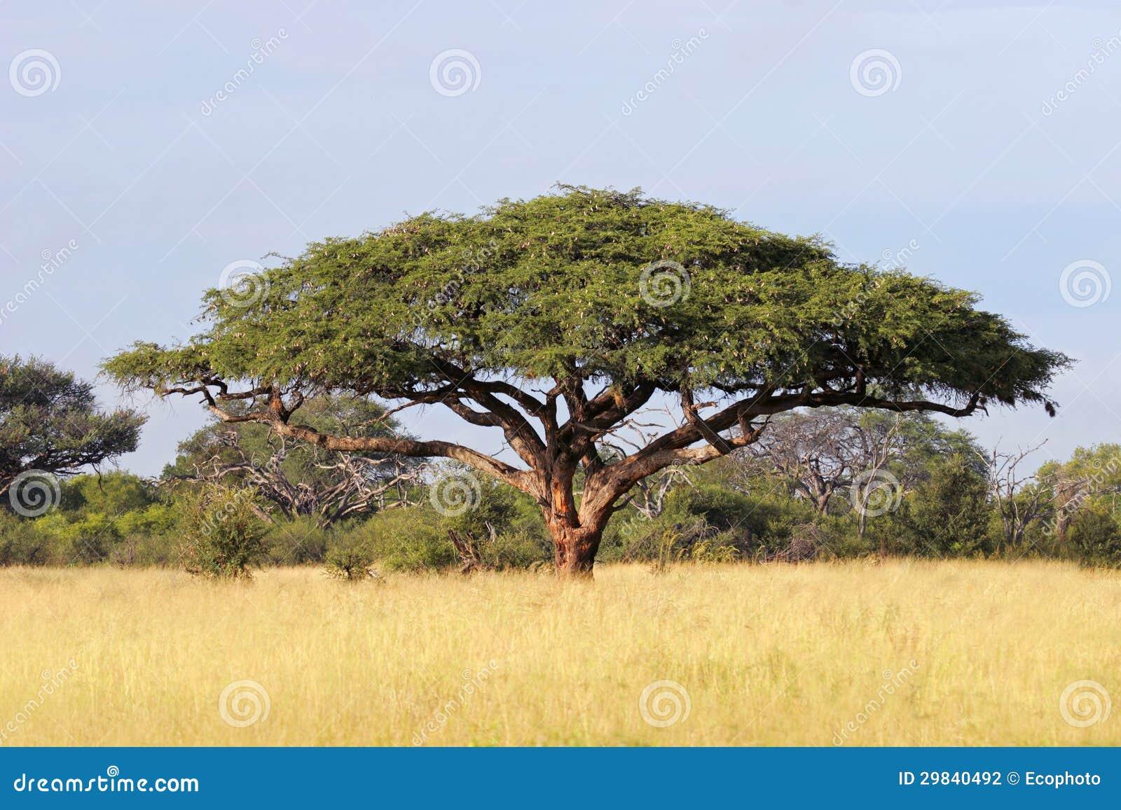 Albero africano dell 39 acacia fotografia stock immagine for Acacia albero