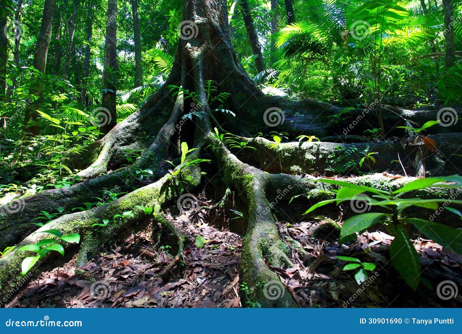 Albero della foresta pluviale