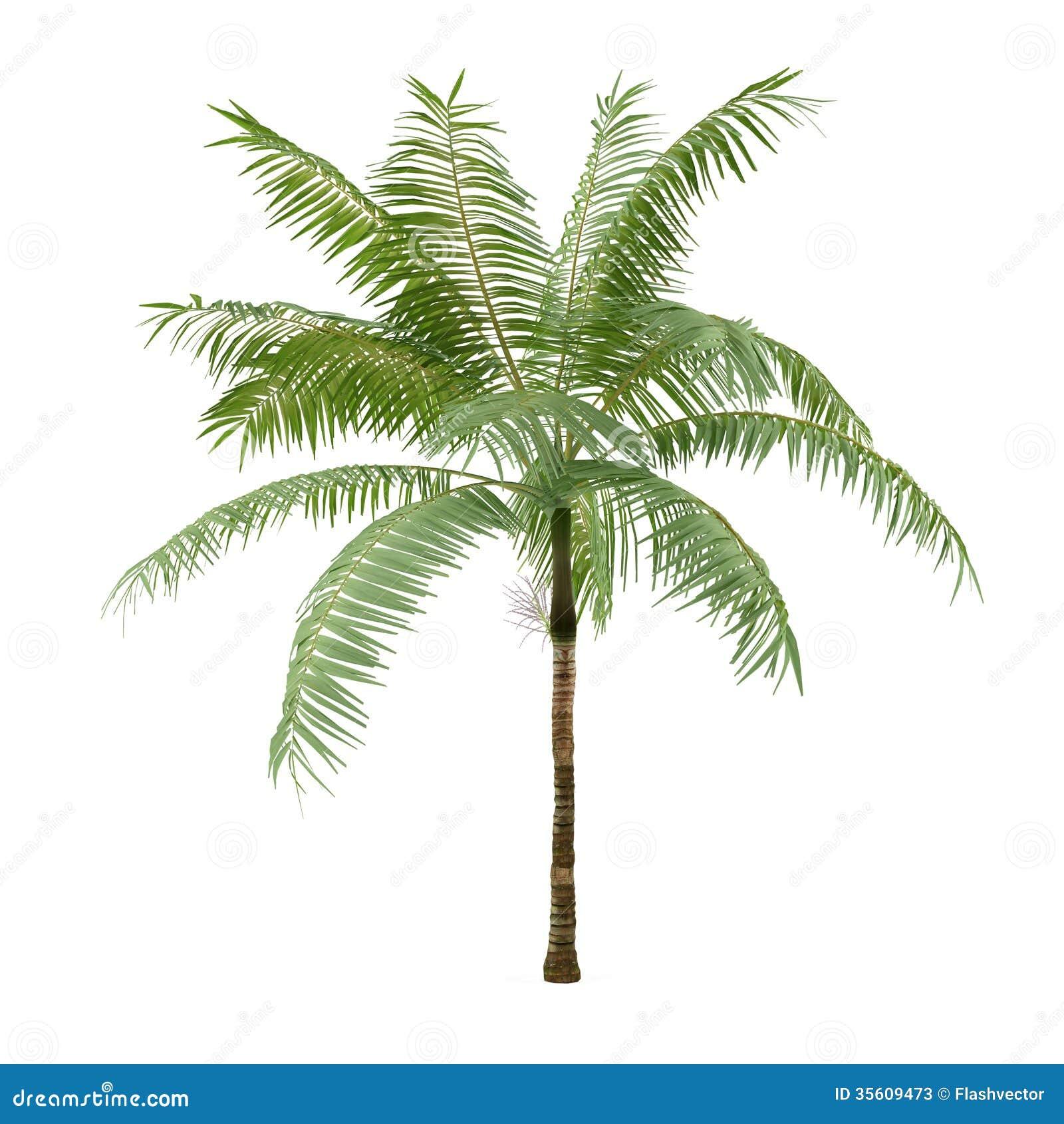 Albero della pianta della palma isolato album di for Pianta palma