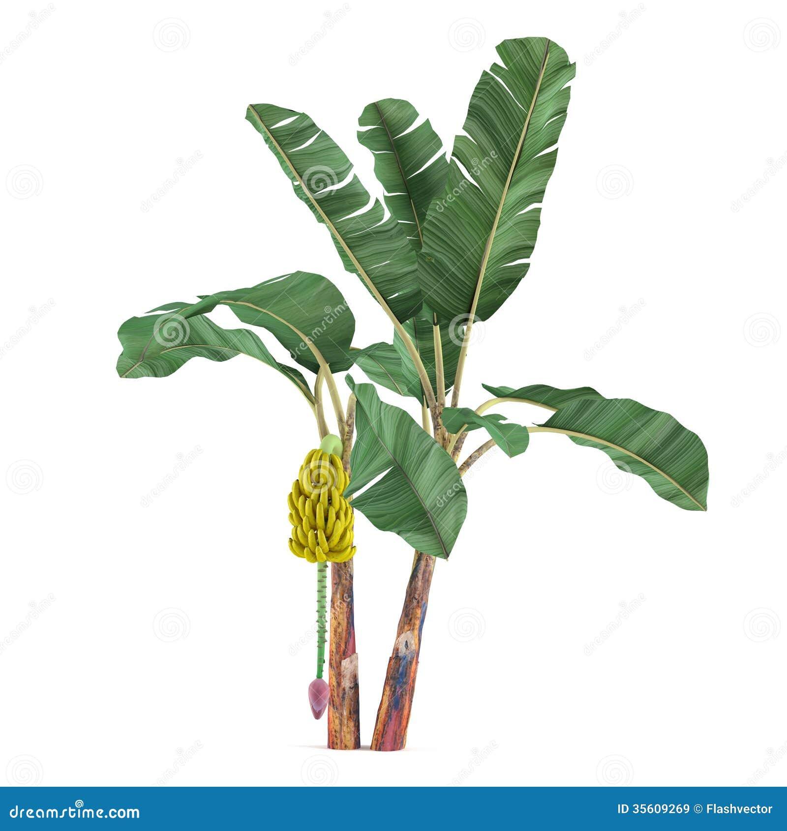 Albero della pianta della palma isolato banana di musa for Palma pianta