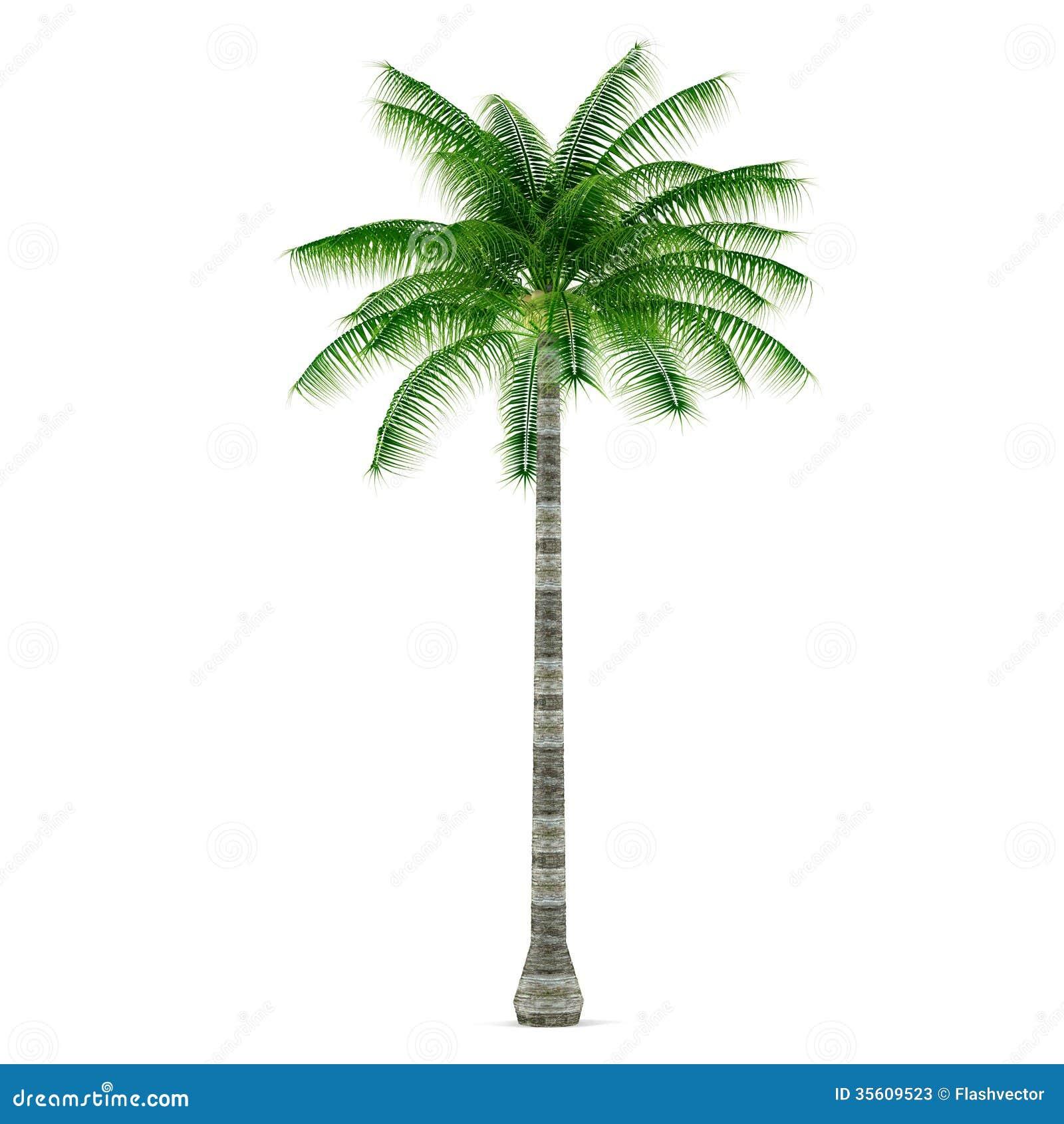 Albero della pianta della palma isolato cocos nucifera for Pianta palma