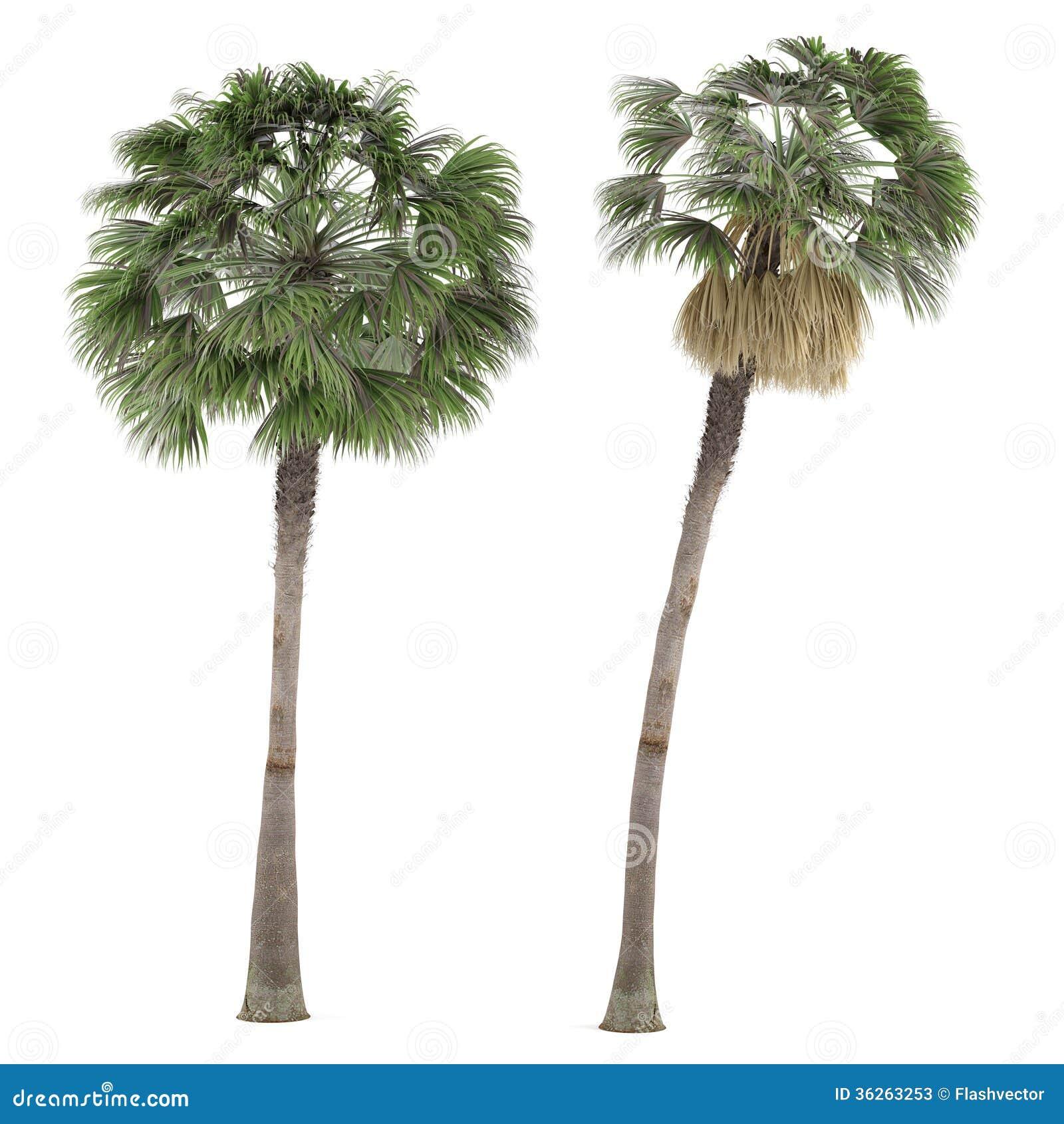 Albero della pianta della palma isolato washingtonia for Pianta palma