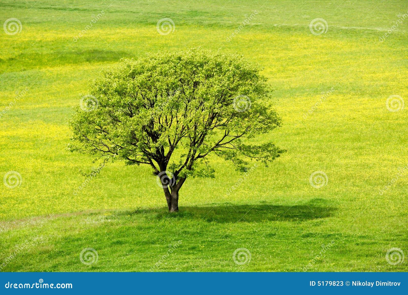 Albero della sorgente in un prato giallo del fiore