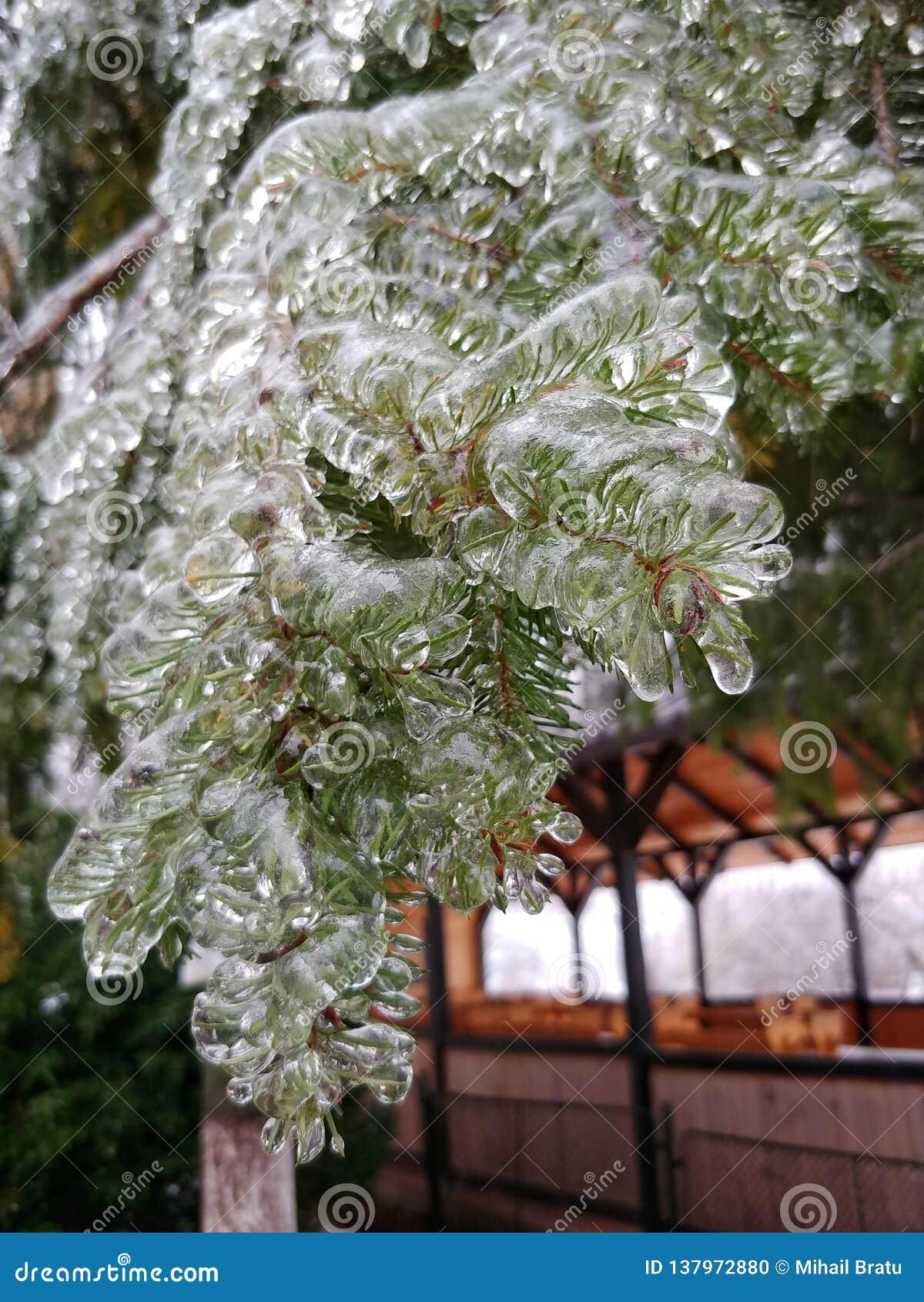 Albero di abete congelato a gennaio