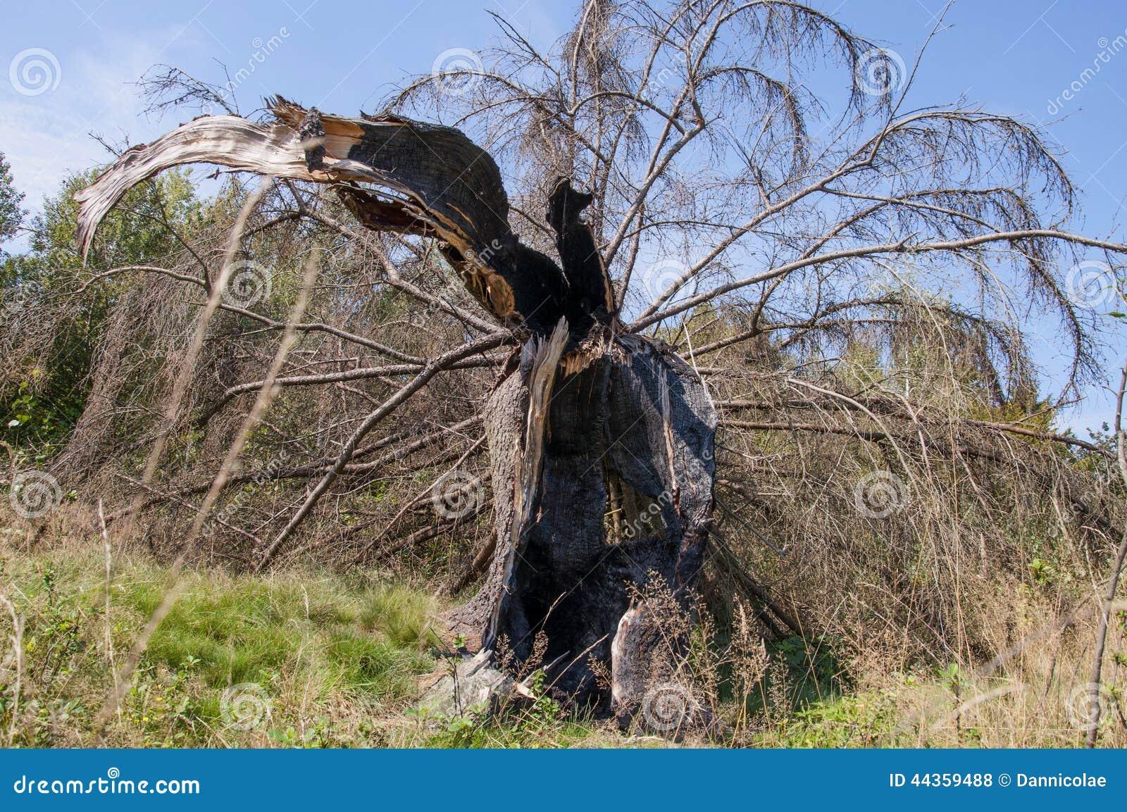 Albero di abete rotto da fulmine, dopo una tempesta dura