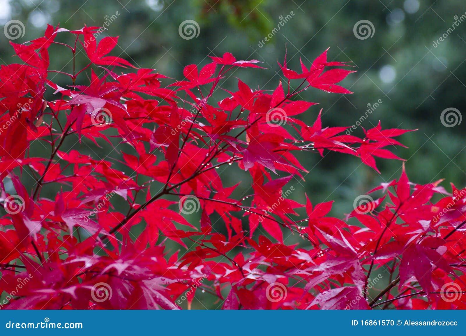 Albero di acero giapponese rosso fotografia stock for Acero rosso giapponese