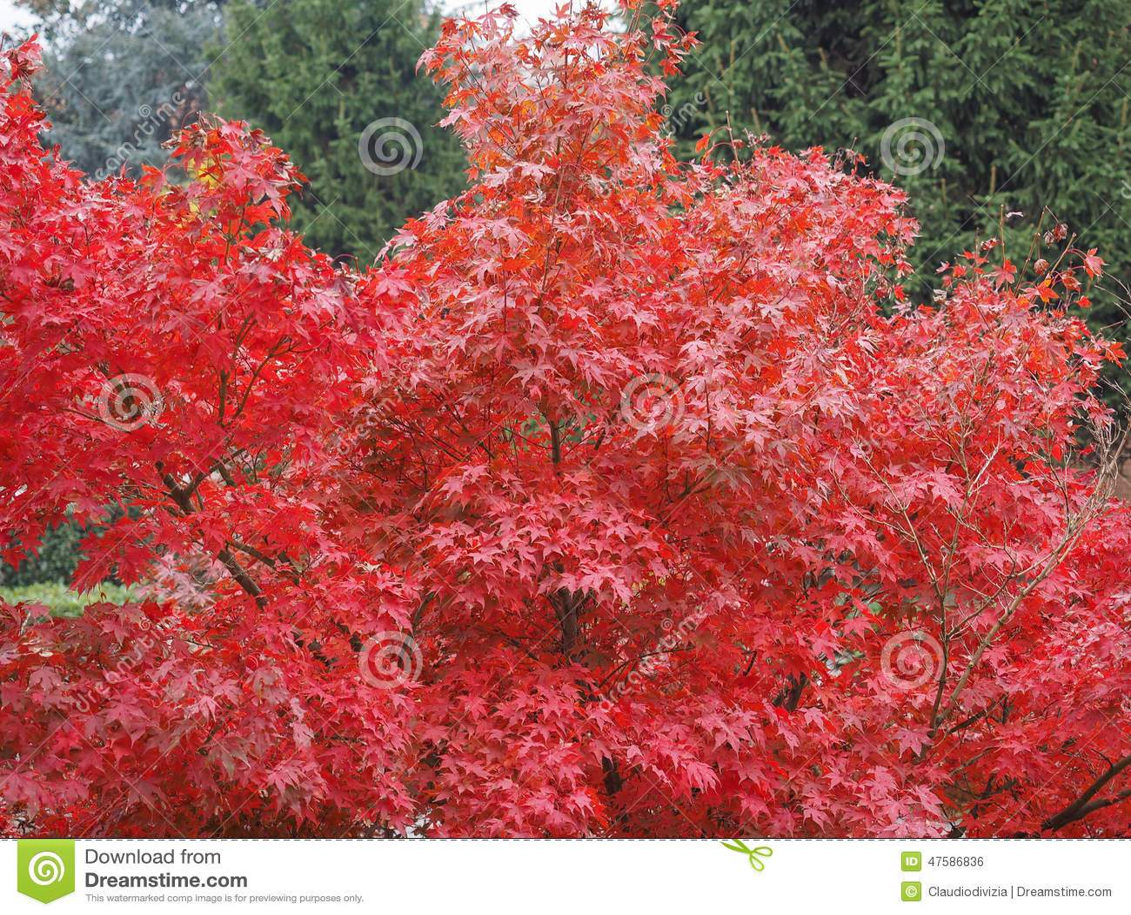 Albero di acero rosso fotografia stock immagine 47586836 for Acero rosso canadese prezzo