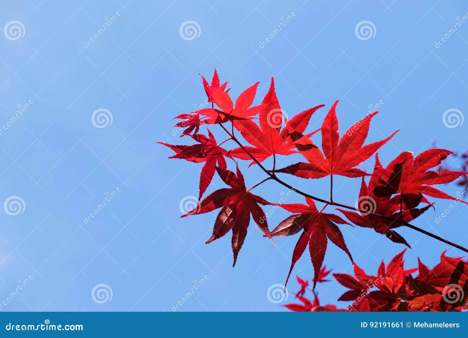 Acero Blu Giapponese albero di acero rosso giapponese con il fondo del cielo