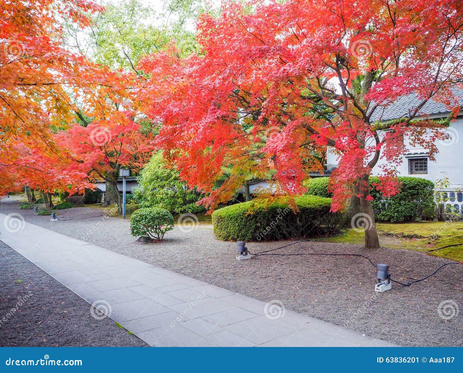 Albero di acero rosso in giardino giapponese immagine for Acero rosso giapponese