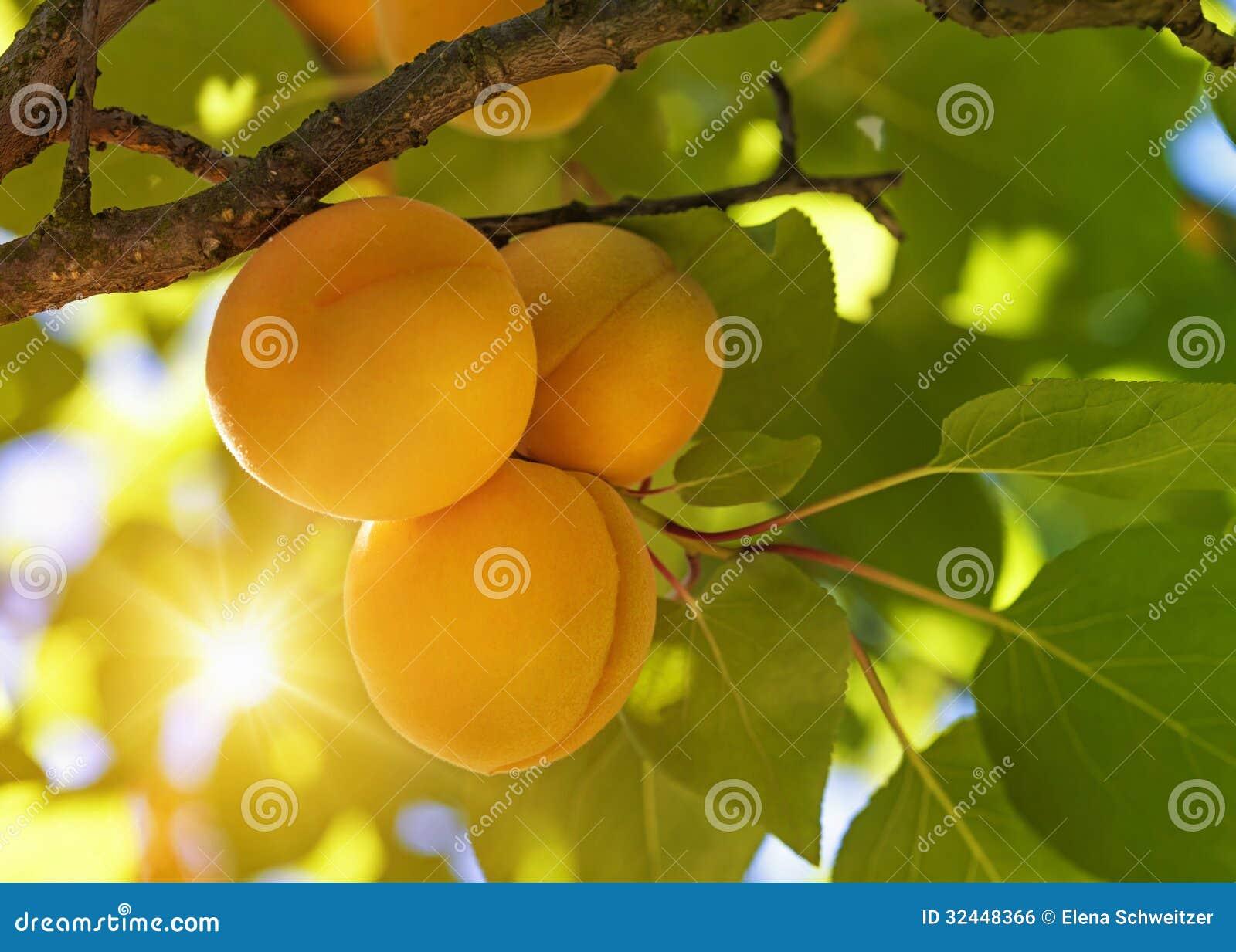 Albero di albicocca con i frutti