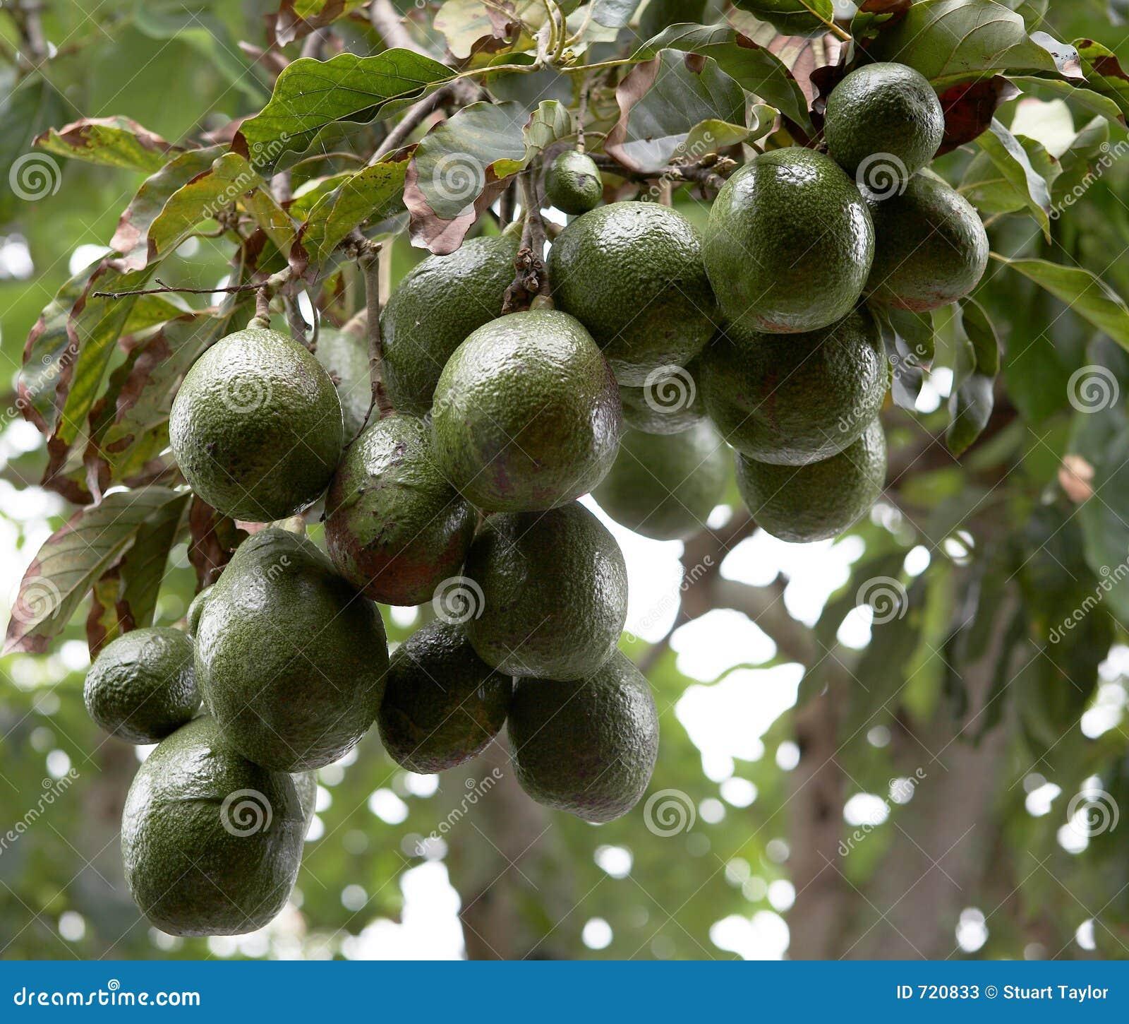 albero di avocado fotografie stock immagine 720833 On albero di avocado