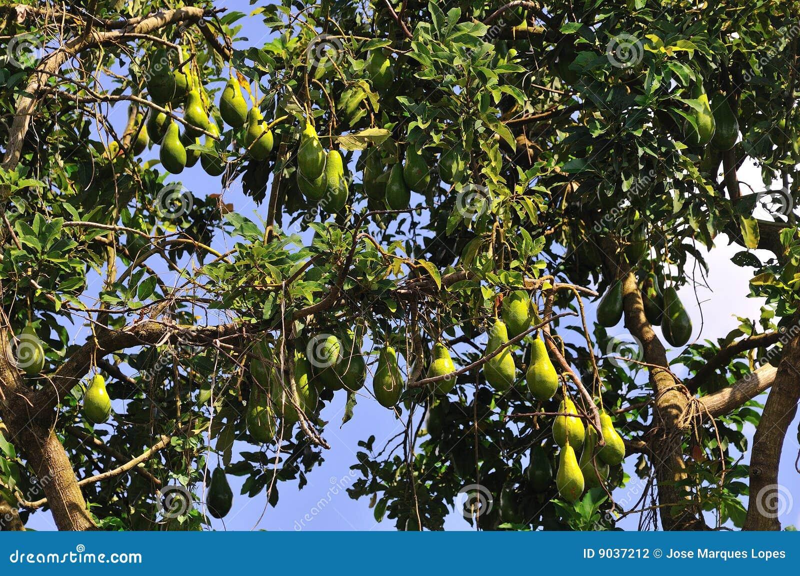 albero di avocado fotografia stock immagine di guacamole On albero di avocado