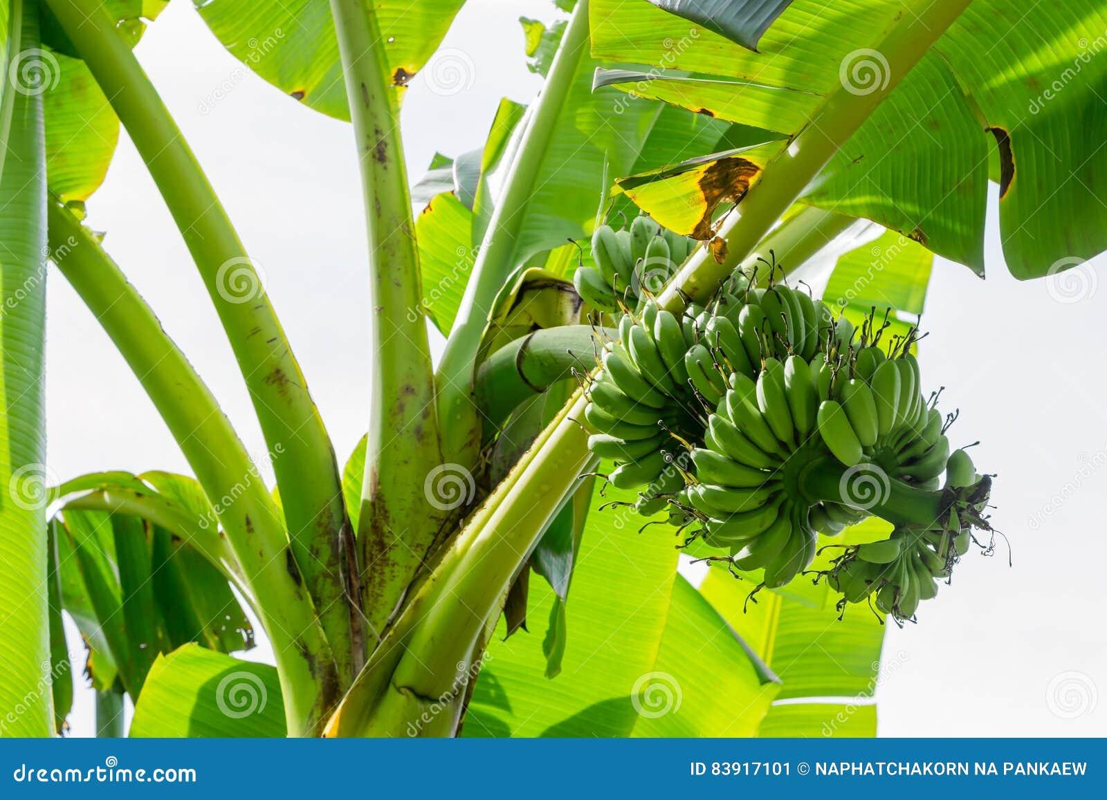 Albero di banana con un mazzo di banane immagine stock for Albero di banane