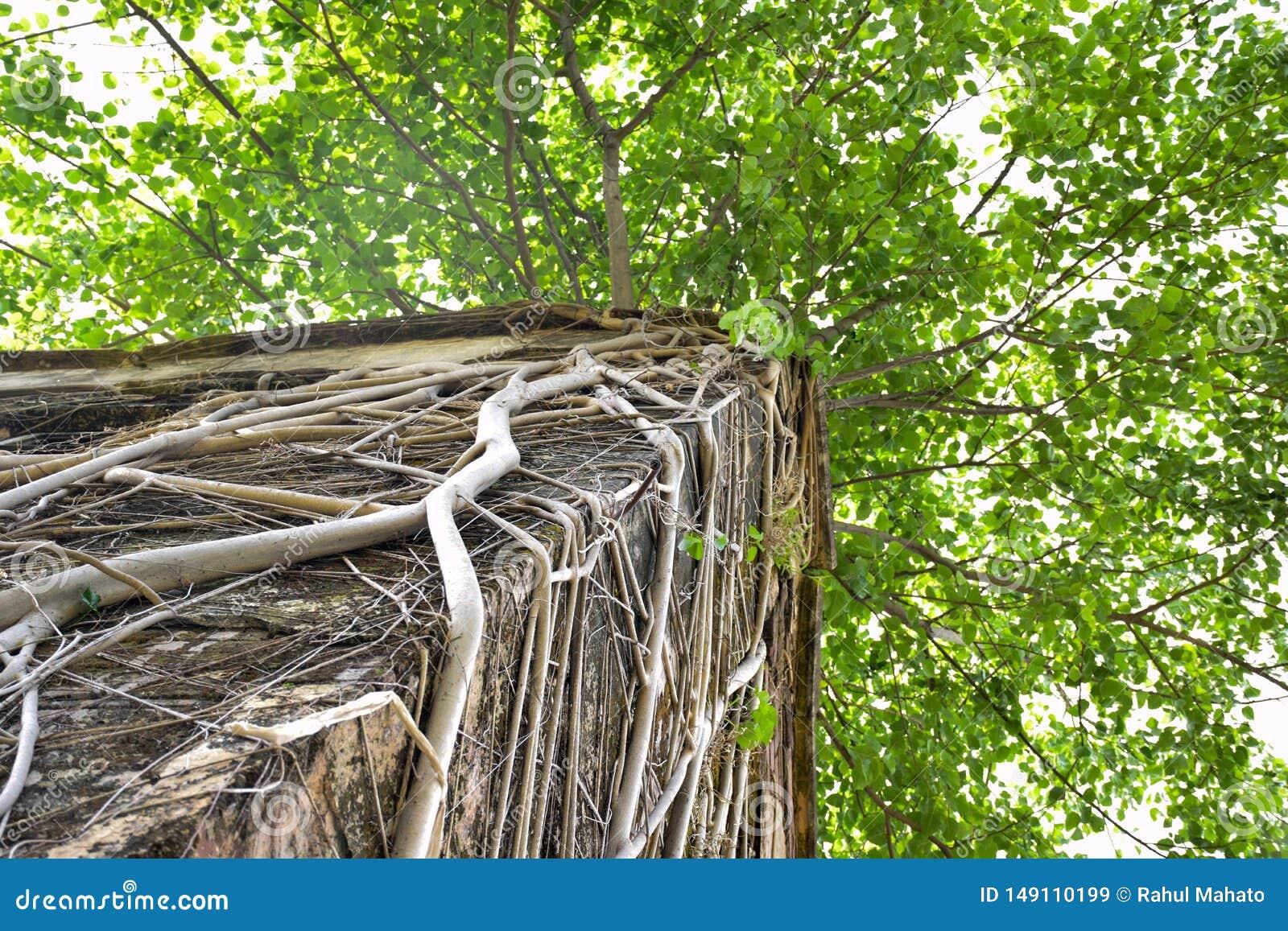 Albero di banyan coperto di radici sul tetto di vecchia casa di danno
