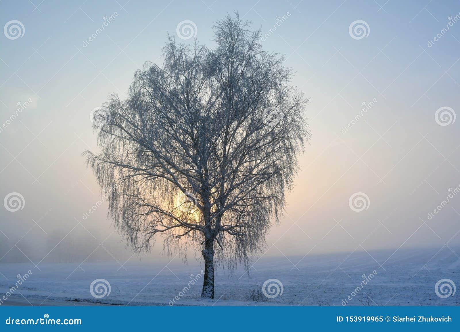 Albero di betulla nell inverno alla mattina
