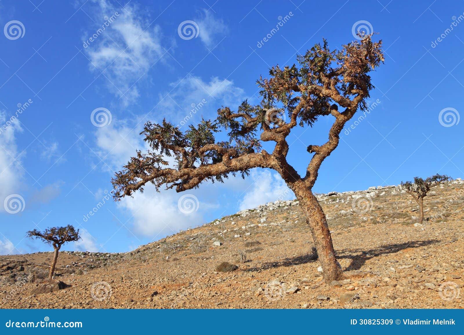 Albero di Boswellia (albero del franchincenso)