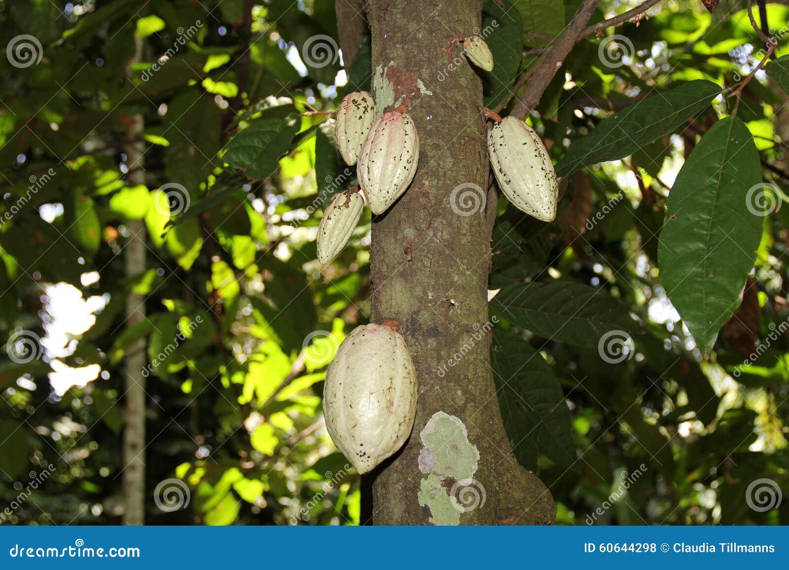 Albero di cacao