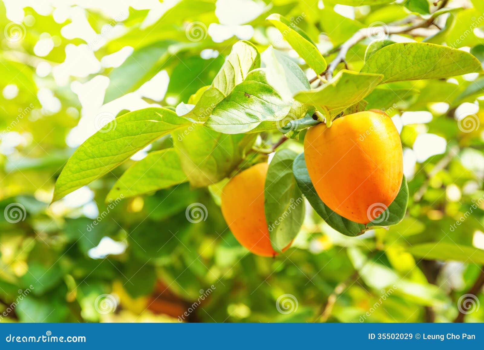 Albero di cachi immagine stock immagine di coreano for Albero di cachi