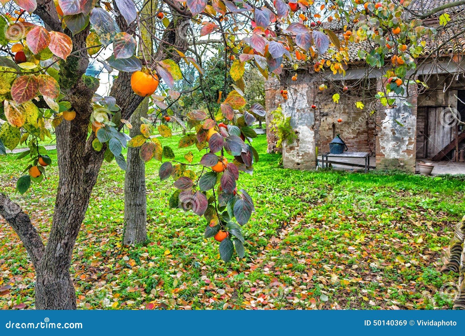 Albero di cachi e fattoria immagine stock immagine di for Albero di cachi
