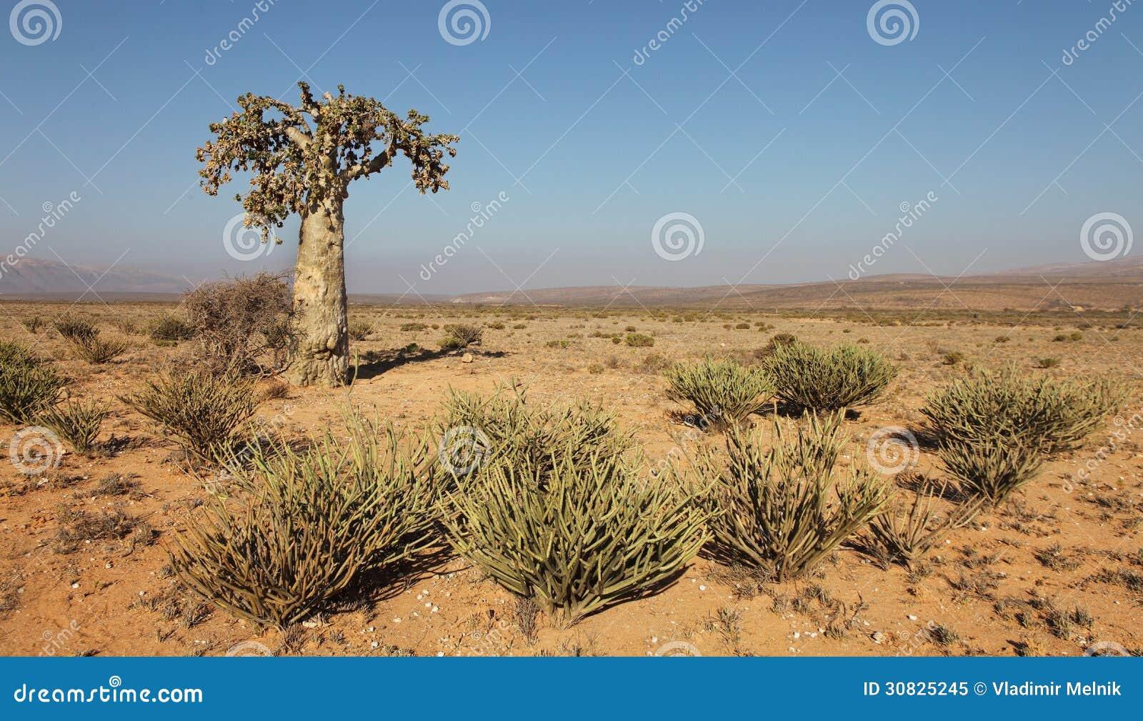 Albero di cetriolo
